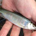 柴山沼で釣り!漁業料とオイカワと極小ヨシノボリと